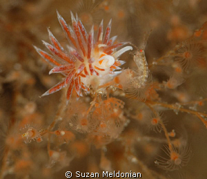 1st time I've photogrphd a juv. Flabellina-only 1 juvenil... by Suzan Meldonian 